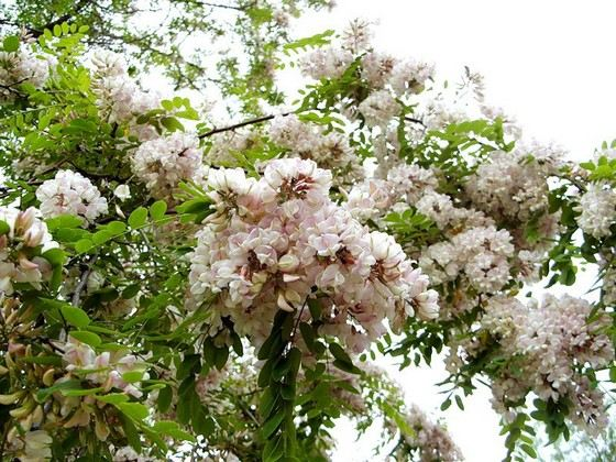 White acacia is included in the rating of the most durable trees